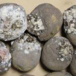 Fusarium - kurttulaho